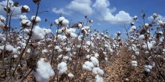 كتاب آفات القطن والأخطاء الشائعة في الزراعة