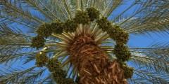 كتاب إنشاء البساتين الحديثة والرعاية الفنية لأشجار النخيل