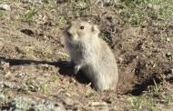 كتاب فأر الحقل Microtus socialis أضراره، حياته ومكافحته