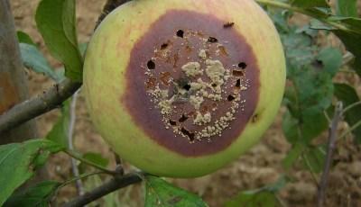 كتاب العفن البني (مونيليا) على اللوزيات و التفاحيات