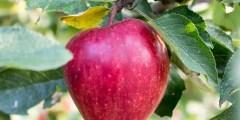 كتاب شجرة التفاح