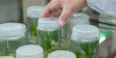 الوسط الغذائى (البيئات المغذية) لزراعة الأنسجة