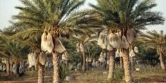 دورة الحياة السنوية لشجرة النخيل