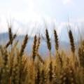 المصدر الوراثي والجغرافي لنبات القمح