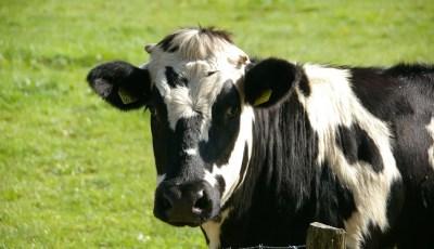 كتاب تربية الأبقار الحلوب