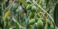 زراعة الزيتون ( ظاهرة تبادل الحمل او المعاومة )