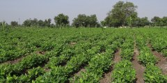 تأثير الاجهاد الملحي على انبات ونمو النبات