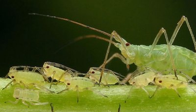 أهم أنواع حشرات المن التي تصيب نباتات الزراعة المحمية