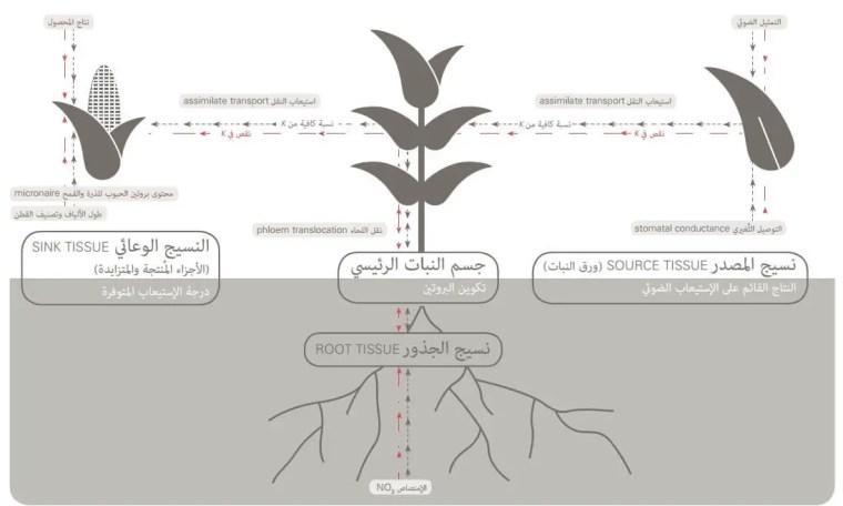 الشكل 1: رسم تخطيطي للوظائف التي يقوم بها البوتاسيوم في النبات