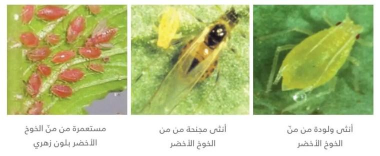 من الدراق الأخضر   Myzus persicaeّ