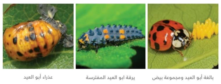 حشرات أبو العيد التابعة لفصيلة Coccinelliaae