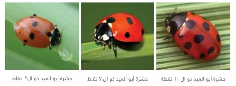 3.2 - حشرة أبو العيد ذو ال 9 نقاط  Adonia variegata