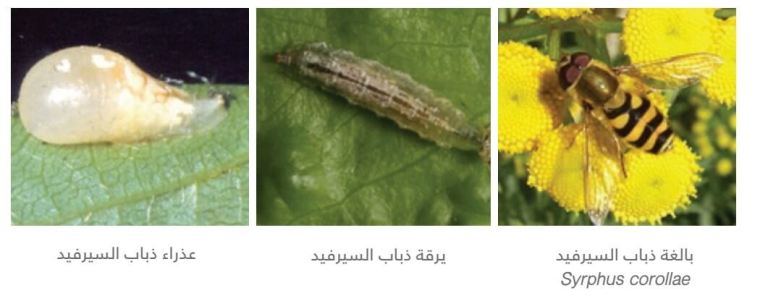 حشرات ذباب السيرفيد التابعة لفصيلة Syrphidae