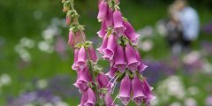 الديجيتالس Digitalis purpurea L