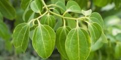 القرفة Cinnamomum zeylanicum Blume