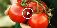 فيديو .. طريقة زراعة الطماطم بالبذور من طماطم موجودة بالثلاجة