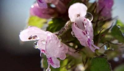 النباتات الطبية والعطرية Aromatic and medical plants