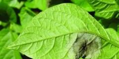 الأمراض التى تسببها الفطريات البيضية