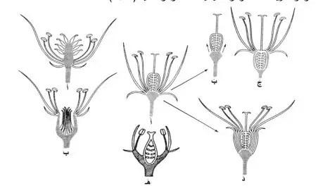 شكل5: تموضع عضو التأنيث بالنسبة لباقي أجزاء الزهرة ( Reynaud, 2009)(معدل).  أ. عموي , ب. سفلي عند الأزهار منفصلة الكرابل, أ´. علوي, ب´ و ج´ سفلي لإمتداد الكرسي, د´. سفلي لإمتداد الغلاف وهذا عند الأنواعملتحمة الكرابل. ه. محيطي