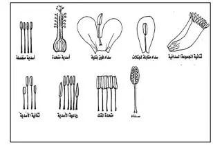 شكل 7 :مواضع إتصال المتك بالخيط (شكري إبراىيم سعد،2005).