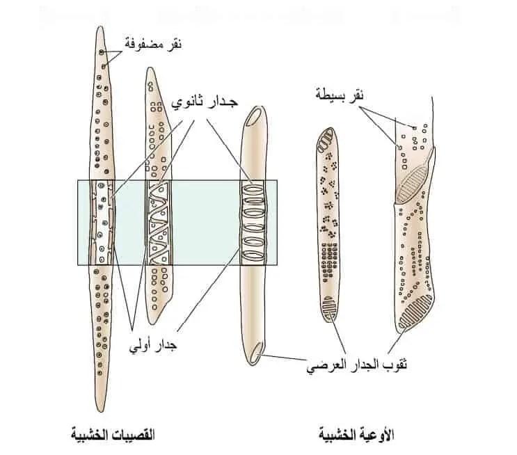 شكل2.رسم تخطیطي یوضح شكل وتركیب الأوعیة والقصیبات الخشبیة كما یبین الاختلافات التشریحیة بینھما. المصدر[Hacke&Sperry2001]