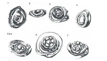 شكل 1 : مختلف مراحل الإزهار من إستحضار وتشكل زهري عند النبات Tulipe (Hartsema, 1961).