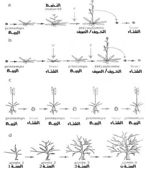 شكل 2 : مختلف أنواع النباتات حسب دورتها التطورية (Ducreux, 2002). .a نبات حولي, .b نبات ثنائي الحول, .c نبات معمر, .d نبات مستديم.