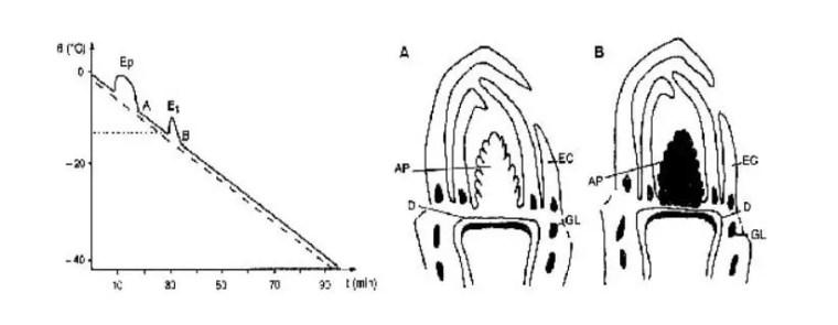 شكل (4) :توضع البلورات الجليدية بعد الانتشار الحراري (EP(Aو الانتشار الحراري (ES(B و منحنى التبريد (ــــ) لبرعم نبات Picea abies.