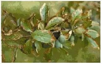 شكل (21ب):جروح بأوراق نبات Prunier بفعل ترسب و تراكم Fluorures بداخلها.