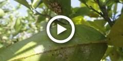فيديو .. مكافحة الحشرة القشرية او النقط الحمراء على الورقة البرتقال والموالح بالتفصيل