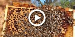 فيديو .. جني عسل النحل