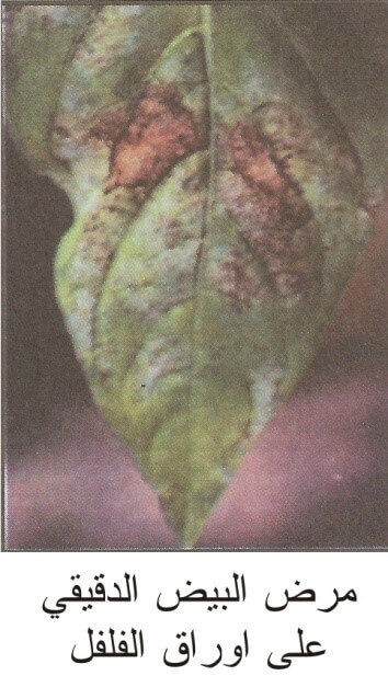 مرض البياض الدقيقي على اوراق  الفلفل