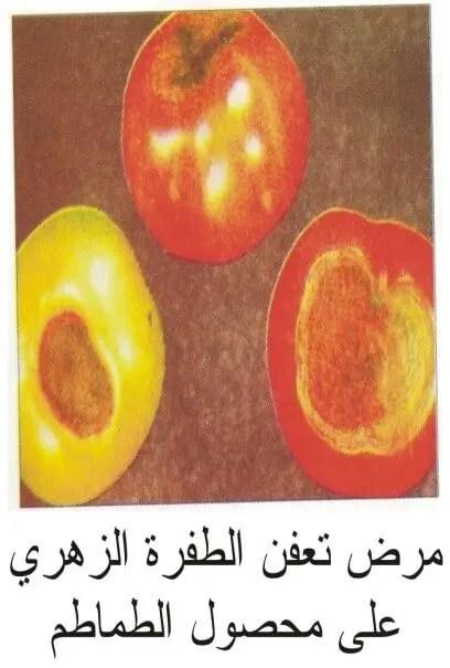 مرض تعفن الطرف الزهري لثمرة الطماطم