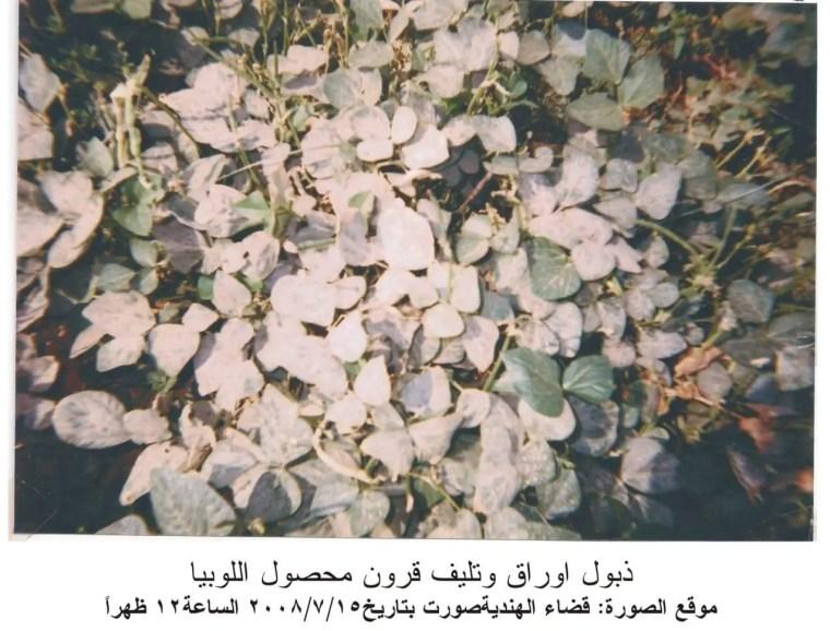 ذبول اوراق وتليف قرون محصول اللوبيا