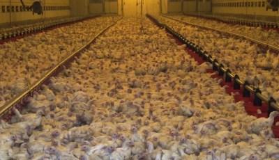 أهمية العلف المحبب في تغذية الدواجن Interet de l'aliment granulé en aviculture