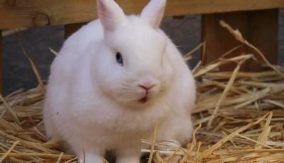 التلقيح الصناعي لدى الأرانب Insémination artificielle chez le lapin