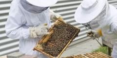 البحث عن ملكة النحل في الخلية