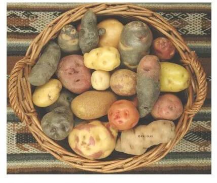 الشكل 2 . 1 بعض أنواع درنات البطاطس