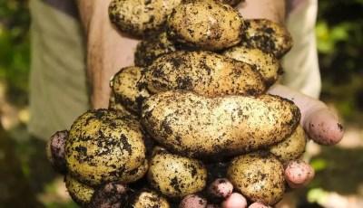نبات البطاطا Solanum tuberosum L
