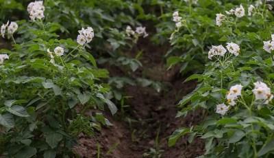 التباينات الجسمية المحدثة عند نبات البطاطس تحت الظروف المخبرية قصد تحسين مقاومتها للملوحة