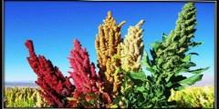 المساهمة في الدراسة الفسيولوجية لنمو الكينوا تحت تأثير الإجهاد الملحي