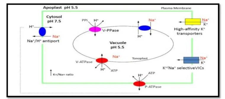 صورة 11:توزیع و إختبار الأيونات عند النبات (2003 ,.Mansour et al عن 2008 ,Jabnoune).