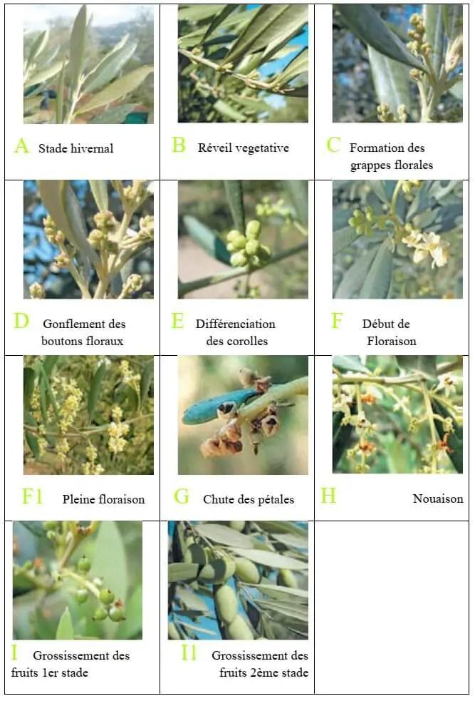 شكل 14: المراحل الفینولوجیة لشجرة الزیتون