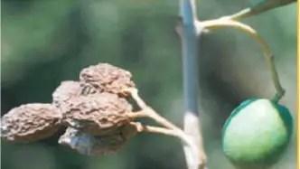 النیرون أو سوسة الزیتون hloeotribus scarabaeoides BERN.