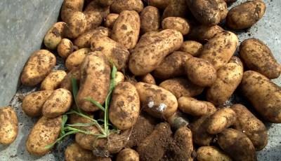 تأثير الأسمدة العضوية الطبيعية على إنتاج محصول البطاطا و محتوى مضادات الأكـسدة و البروتين في الدرنات