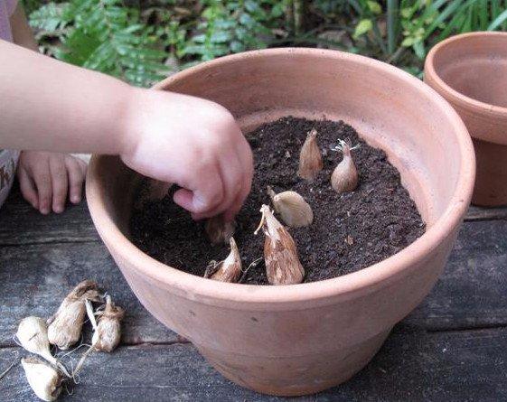 Что делать с луковицами фрезии осенью