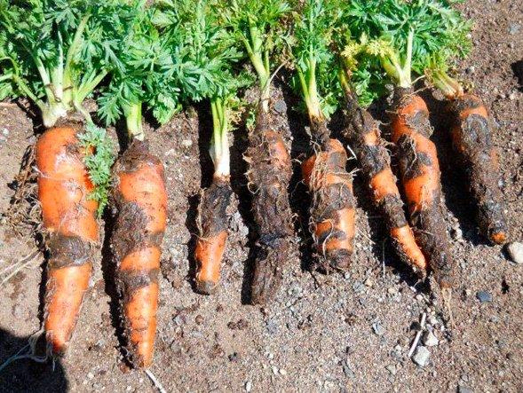 Cum să curățați un morcov: 14 pași (cu fotografie) - Sfaturi -