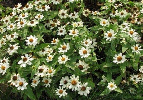 Цинния. Циния: посадка и уход, выращивание из семян