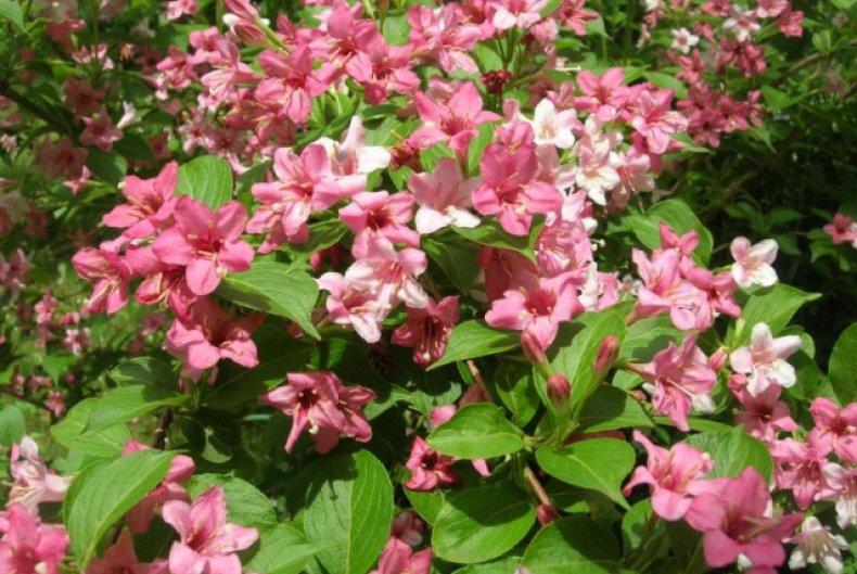 Altamente radice Rhododendron fantastica 80-100cm Alpi Rose