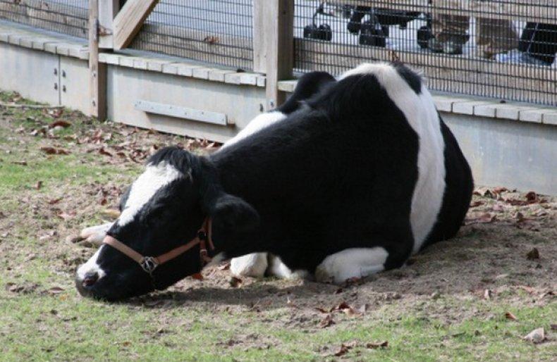 Чем лечить пастереллез у коров. Пастереллёз крупного рогатого скота: симптомы и лечение